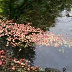 Oktober måneds billede Æbler i vand Foto Birgitte Rønje